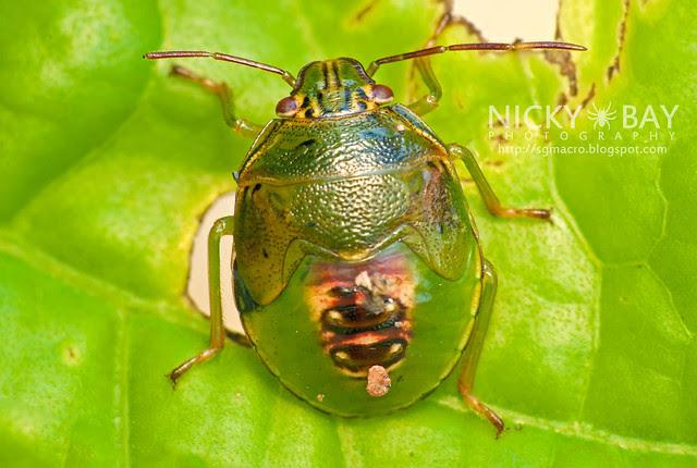 Stink Bug (Pentatomidae) - DSC_0515