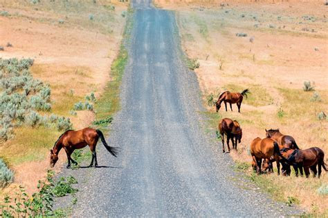 Does Oregon Have Too Many Wild Horses?   Portland Monthly