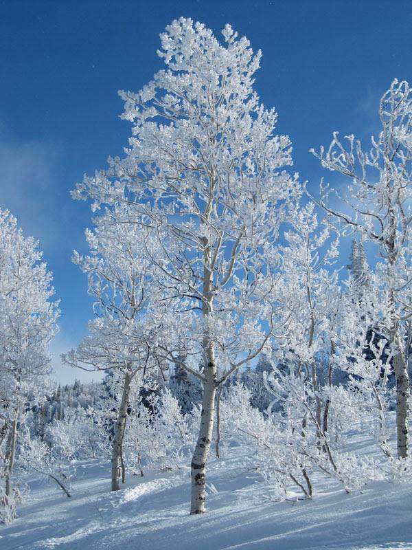 IMG_0584_WhiteTrees