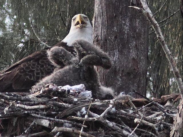 Bald Eaglets hostile confrontation 3 20140205