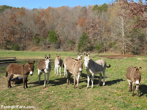 All seven donkeys in the front field - FarmgirlFare.com