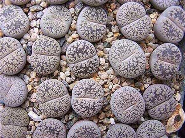 "perierga.gr - Οι ζωντανές ""πέτρες"" που ανθίζουν!"