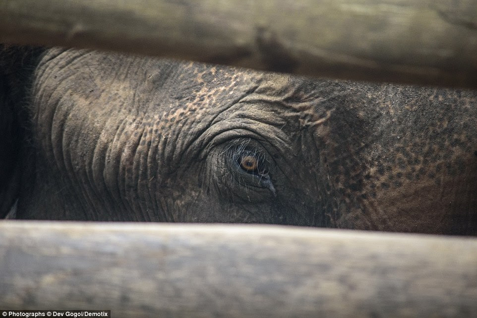 Another elephant peers between the tree trunks keeping him captive. He has been kept here since March. Mahouts imprison the animals to break their natural spirit