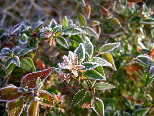 Frost - Abelia