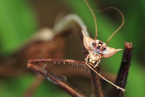 Toxodera hauseri, feather mantis
