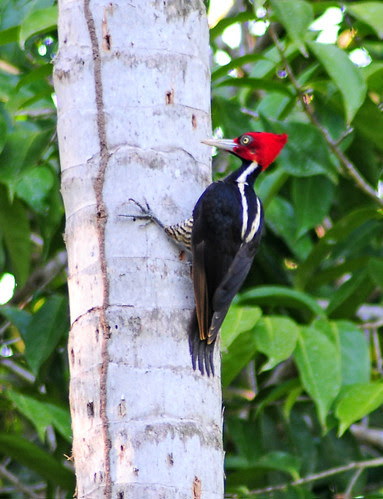 Pale Billed Woodpecker