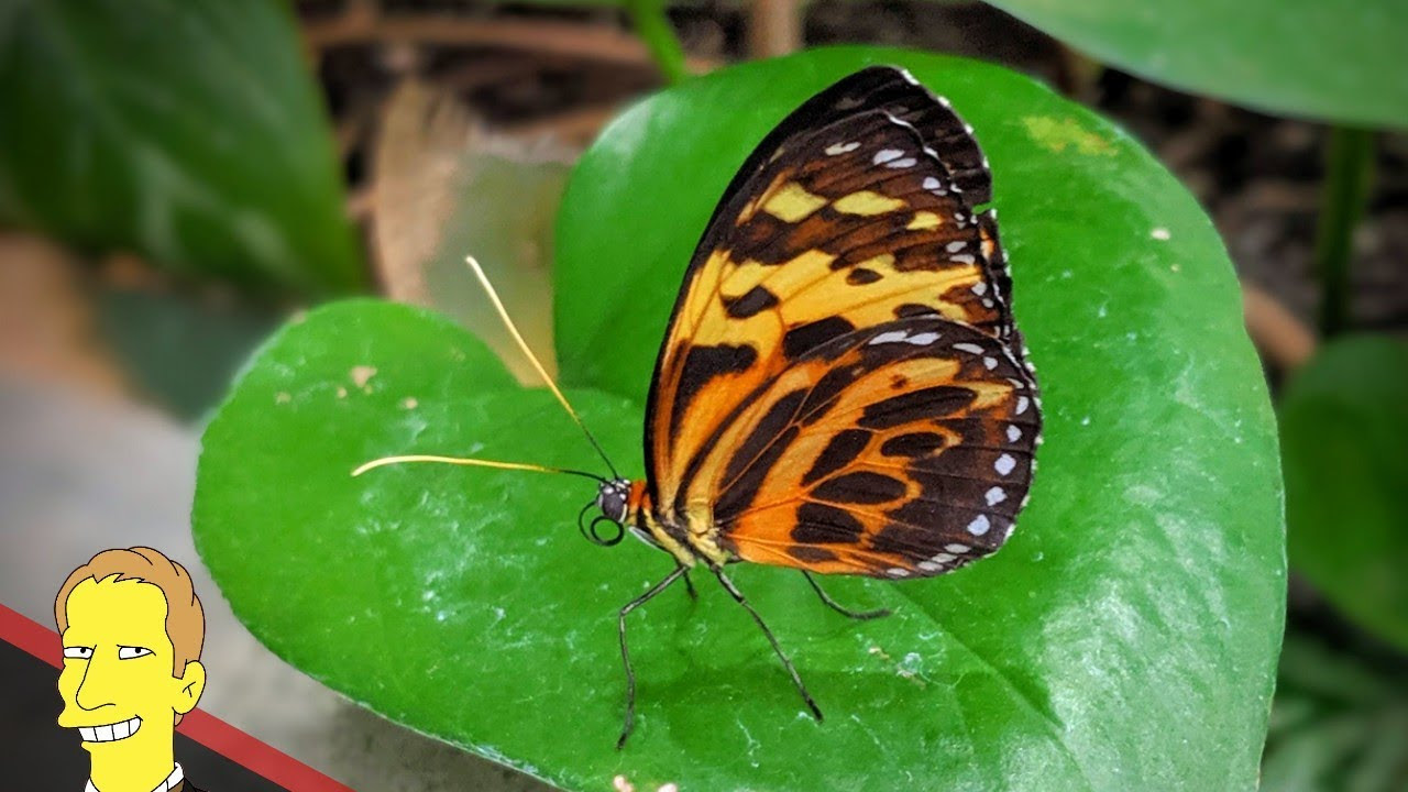 Close up of yellow and orange monarch butterfly resting on a green leaf at Pacific Science Center