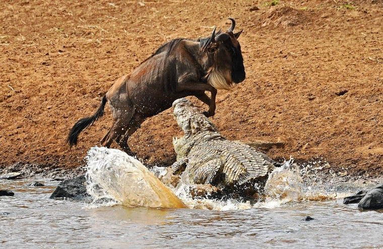 A large crocodile attacks a jumping wildebeest during the migration in the Masai Mara game reserve on September 12, 2016. The daring wildebeest returned after the first attempt by the crocodile and was attacked again but walked away unharmed. (Carl de Souza/AFP/Getty Images)