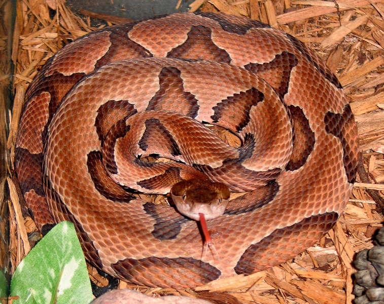 File:Agkistrodon contortrix contortrix CDC-a.png