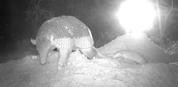 Armadilhas foram instaladas para flagrar mãe e filhote no pantanal