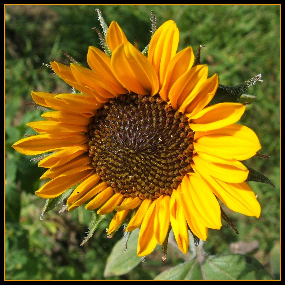 Soraya Sunflower by Angie Ouellette-Tower for godsgrowinggarden.com photo 011_zps53043e84.jpg