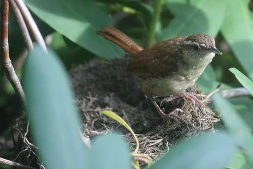 carolina wren checks out old robin nest