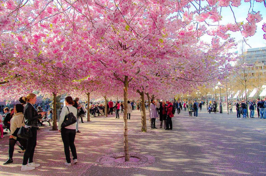 As floradas de cerejeiras mais bonitas em todo o mundo 07