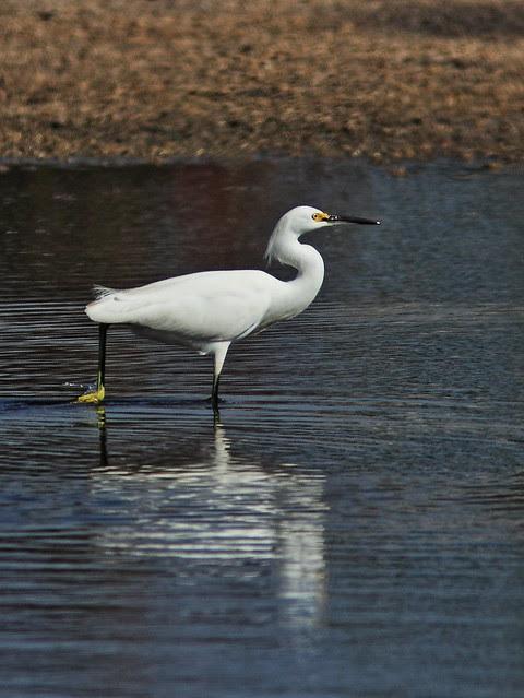 Snowy Egret 20140125