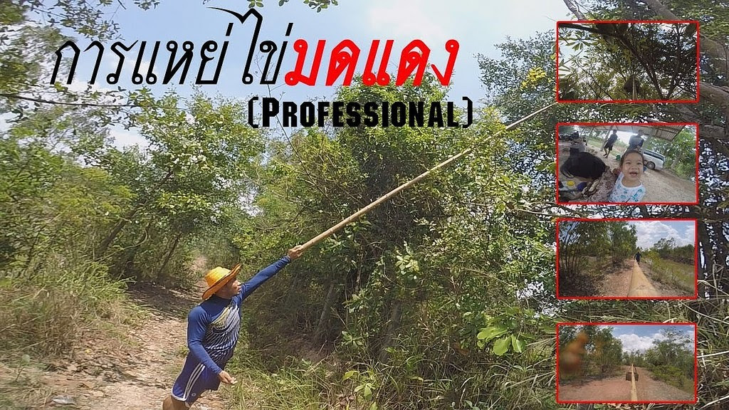 การแหย่ไข่มดแดง [ Professional ] : Liked on YouTube https://goo.gl/QOSyo9