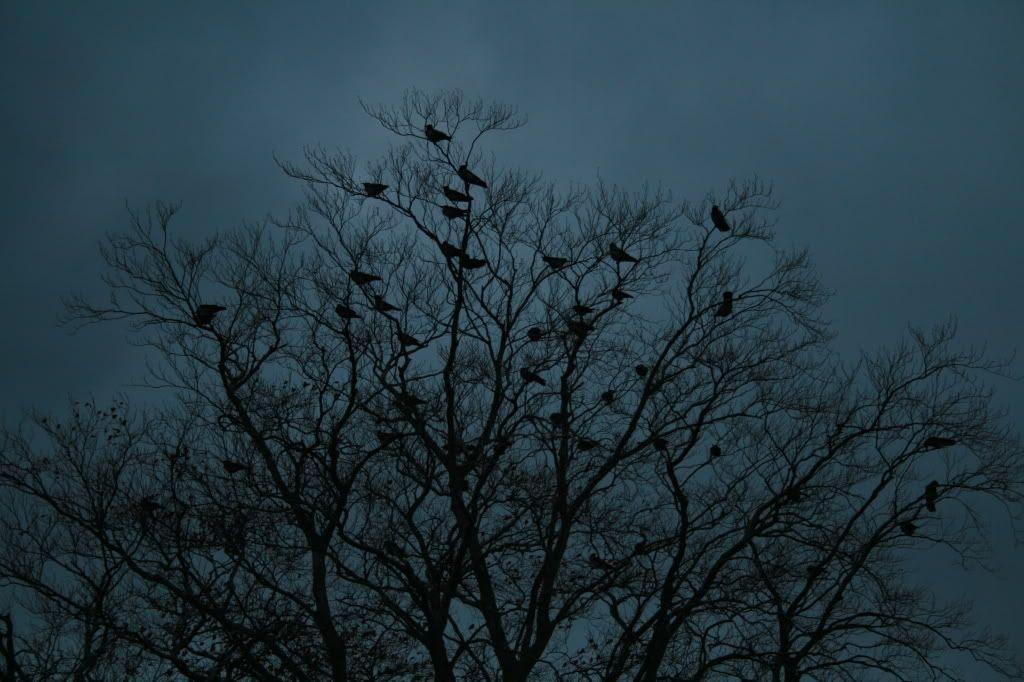 Kråker i tretoppen