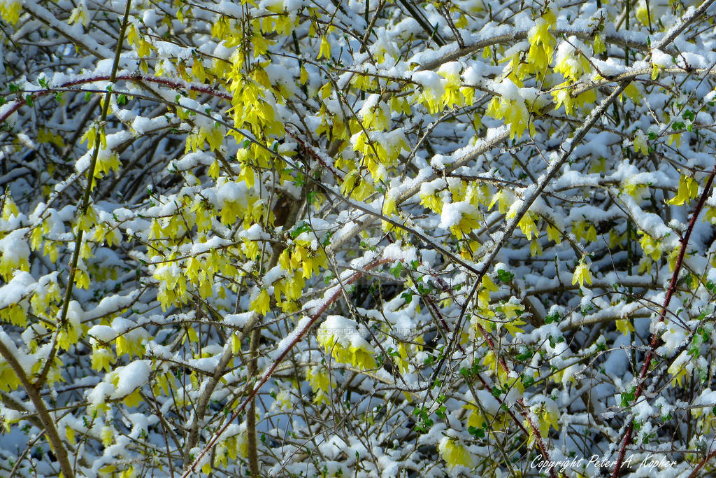 Frosted Forsythia by peterkopher