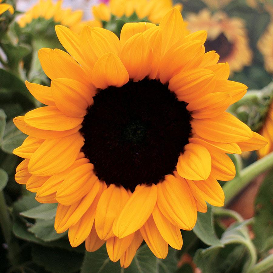 Sunflower Image, Beautiful Sunflower, 900x900, #27760