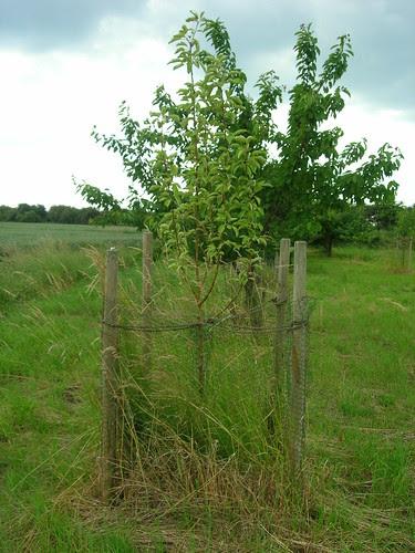 Apfelbaum vor Herunterbinden