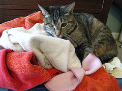 Maggie napping on the clean towels