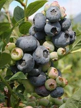 Borówka amerykańska TORO średniowczesna Duże Owoce
