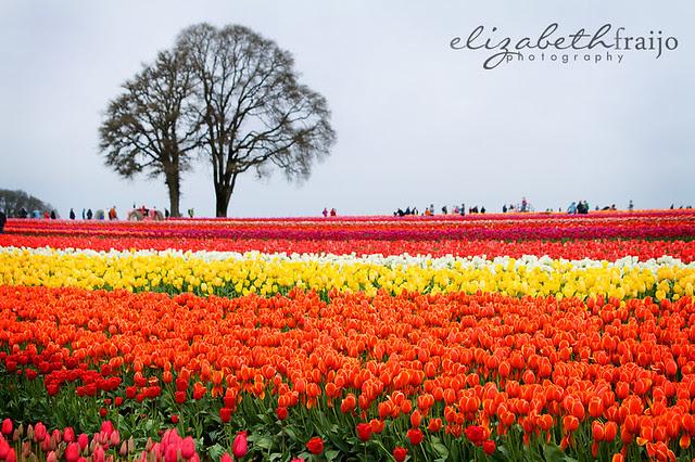 Tulips12W