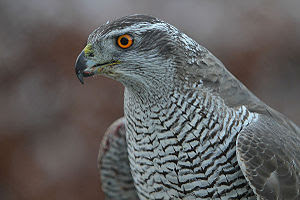 A female Northern Goshawk - owned by a falcone...