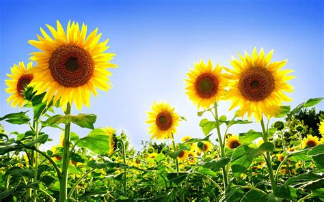 gorgeous sunflowers wallpapers hd wallpapers id
