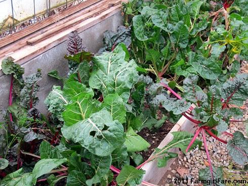 Volunteer Swiss chard in the greenhouse on 11-28-11 - InMyKitchenGarden.com