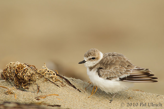Western snowy plover in Point Reyes - Pat Ulrich Wildlife Photography
