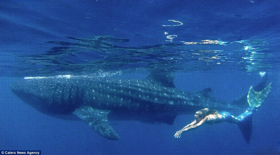 Breathtaking: Linden Wolbert, 32, from Los Angeles, swims with whale sharks using a 6ft-long hydro-dynamic tail she had custom-made