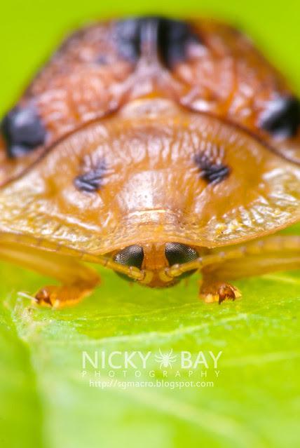 Tortoise Beetle (Hispinae) - DSC_4905