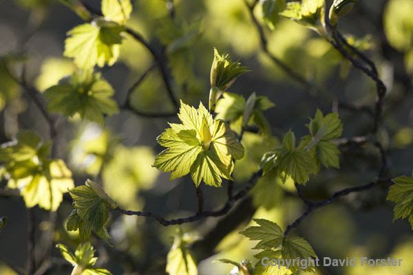 06D-5314 Sycamore Acer pseudoplatanus Leaves Illuminated by Early Morning Spring Sunshine UK.