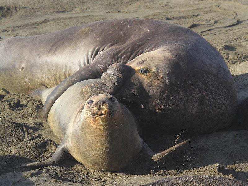 IMG_5171 Elephant Seal