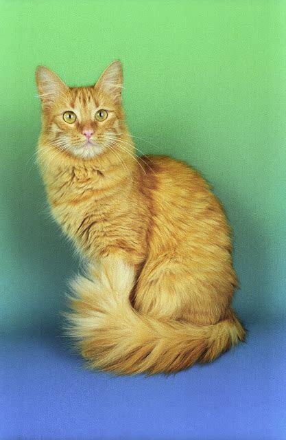 gambar kucing anggora terbaru  kucingorg