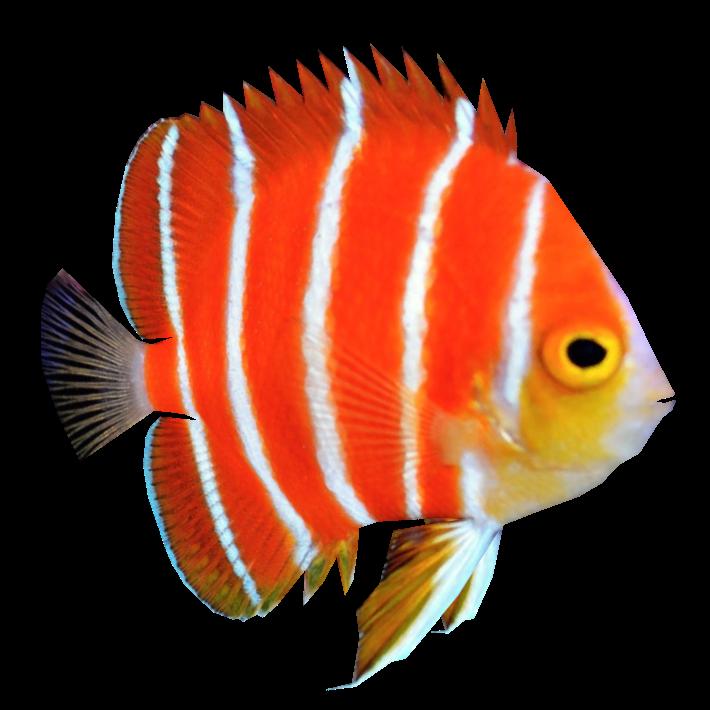 Download Png Fish Png Gif Base