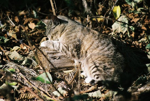 Wood Pillow for Tabby Cat