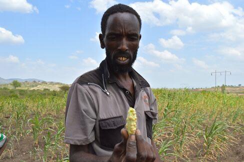 Abdulla Ayube Uso inspects maize in Eastern Oromia.