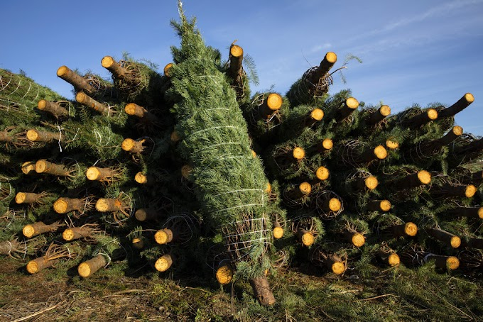 TREND ESSENCE: Americans increasingly turning to fresh Christmas trees during pandemic: 'It really is a memory maker'
