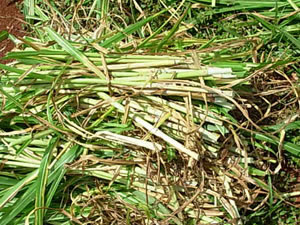 A cultivar apresenta diferencial de crescimento e produtividade no período da seca. (Foto: Secom/MT)
