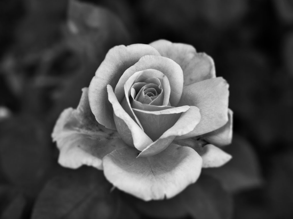 Free Black And White Rose Download Free Clip Art Free Clip Art On