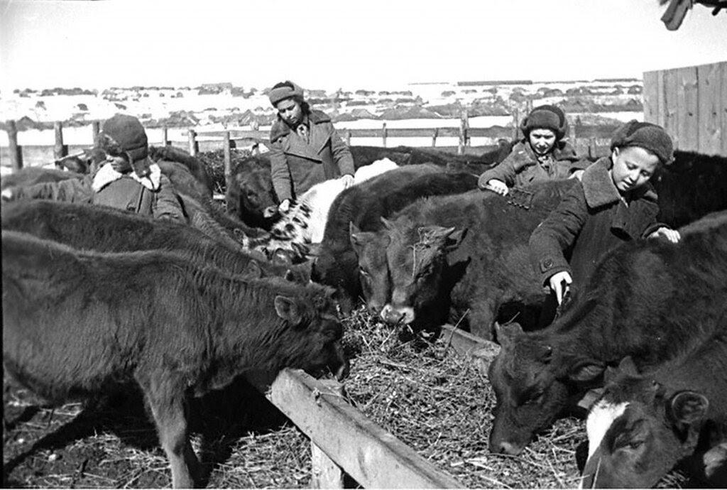 Школьники ухаживают за телятами на животноводческой ферме колхоза «Гигант».  1942 г. Пензенская область.