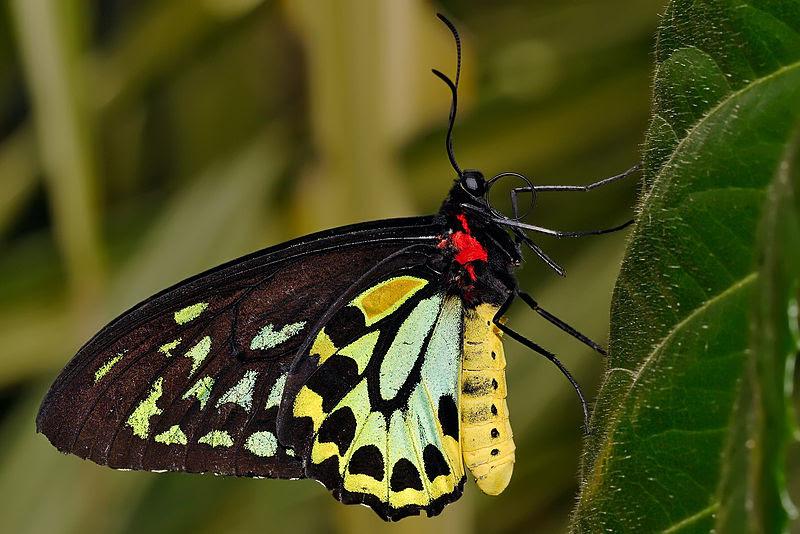 படிமம்:Cairns birdwing - melbourne zoo.jpg