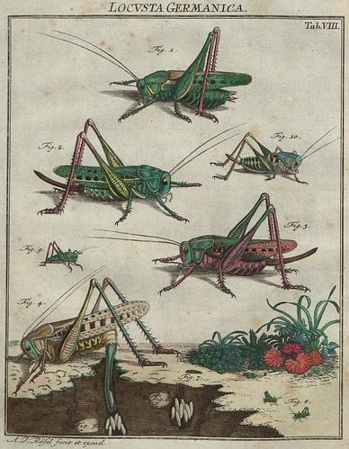 Locusta germanica V.2