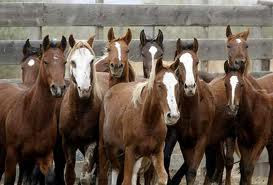 horseslaughter