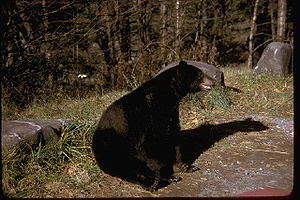 A black bear in the Great Smoky Mountains, in ...