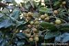 11.13 Longan Blossoms & Fruit 6