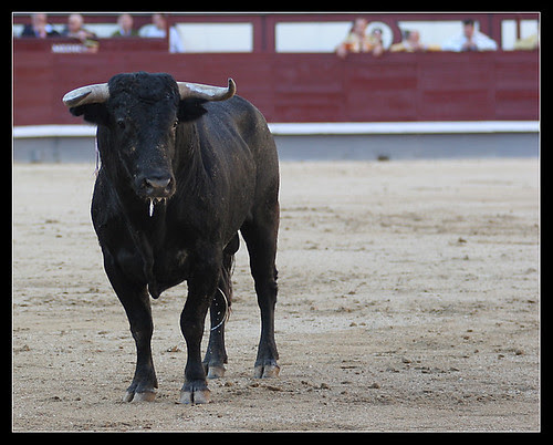 Novillo de Moreno Silva (Saltillo)