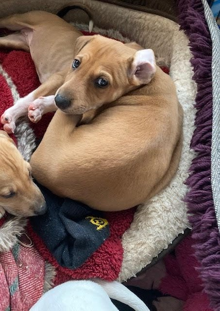 Scooby and Scrappy – 6 week old male Cross-Breeds