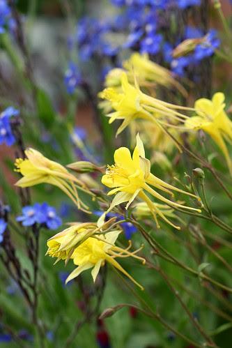 aquilegia yellow queen